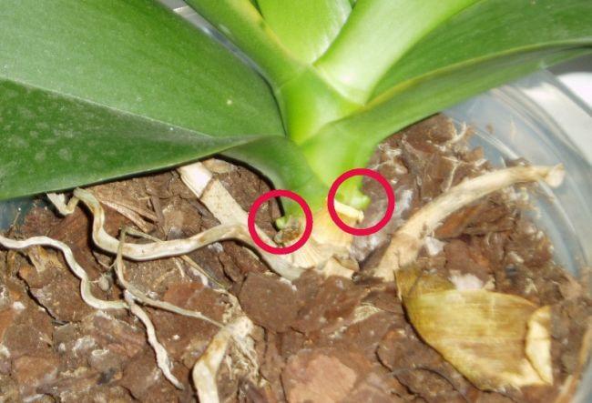 Если растение выпустило детку, это отличный шанс вырастить фаленопсис на подарок родным или на продажу
