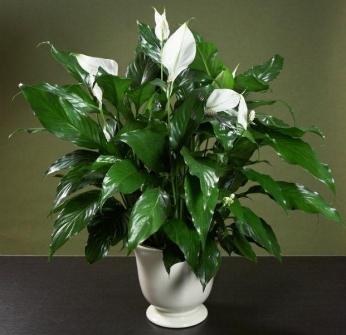 По легенде, спатифиллум цветет только в том доме, где царит любовь и взаимопонимание