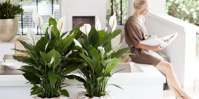Спатифиллум - достаточно распространенное комнатное растение