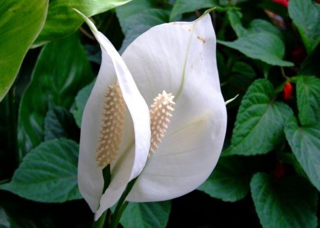В зависимости от сорта спатифиллума в горшок насыпают различный грунт
