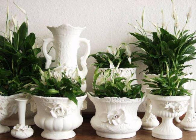 Несмотря на то что родиной спатифиллума является Южная Америка, и в природе цветок растет в тени тропических лесов, в помещении ему достаточно комнатной температуры