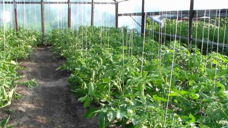 Подвязывать помидоры в теплице можно линейным способом