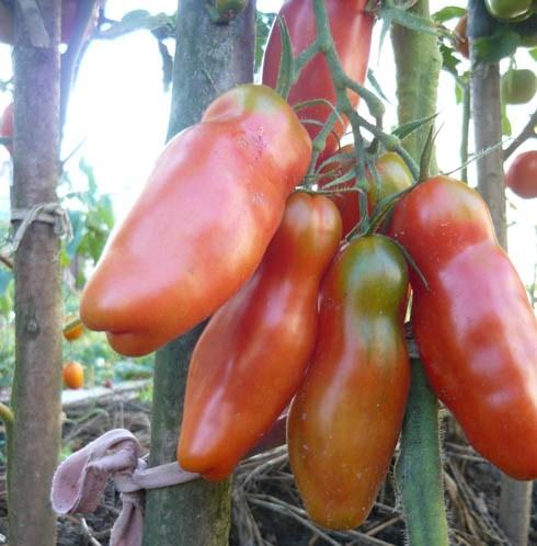 Лучшие сорта помидор для теплицы смело может представить «Аурия»