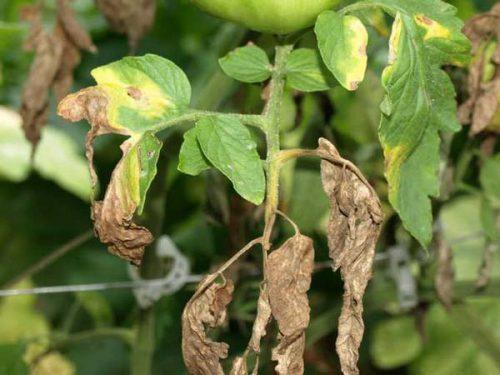 Если у рассады помидоров сохнут листки очень быстро, это чаще всего свидетельствует о глубоком поражении корней