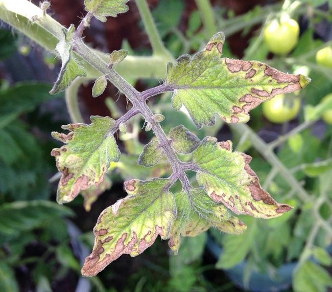 Листья помидор сохнут из-за избытка азота в субстрате