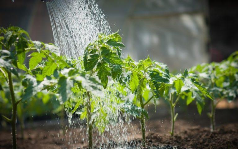 Общеизвестно, что томаты влаголюбивы