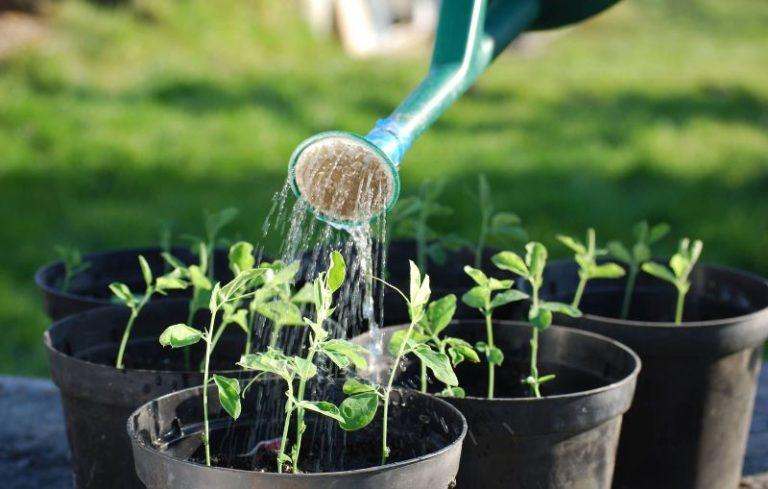Следует уточнить, что сама по себе холодная вода для помидоров и их корневой системы не представляет опасности