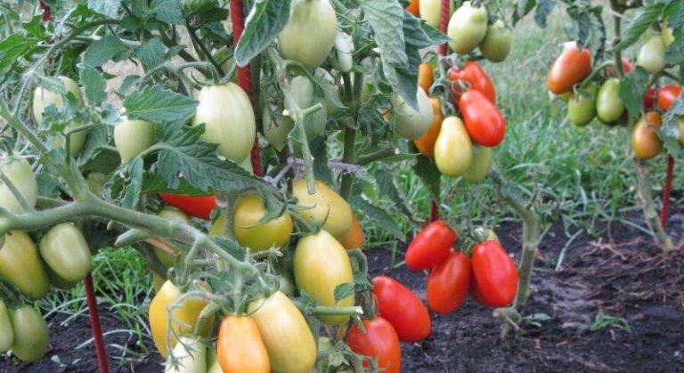 Первый урожай можно собрать с растения через 80-90 суток после посева семян
