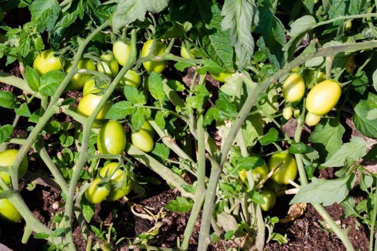 Самое ценное качество описываемого представителя томатных культур - холодостойкость