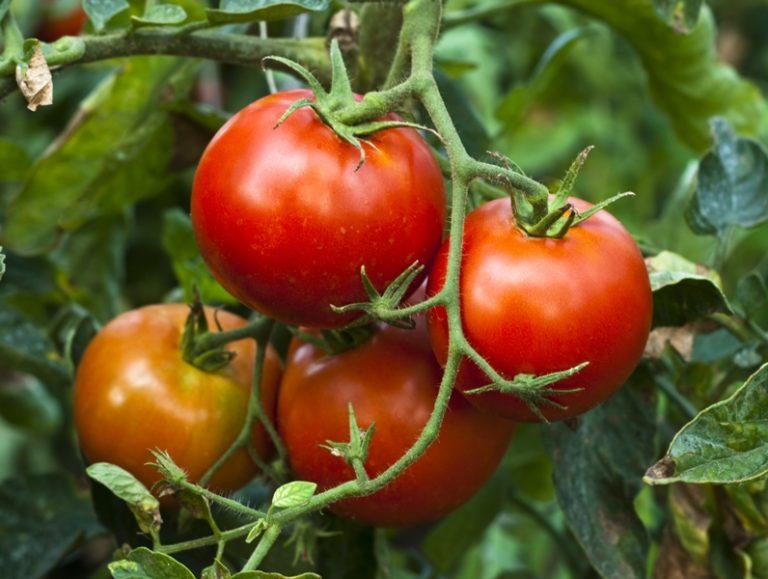 Сорт томата принадлежит к холодостойким культурам