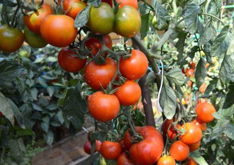 Необходимо помнить, что корневая система сорта Андромеда слаборазвитая, поэтому в процессе развития томата необходимы качественные и своевременные подкормки