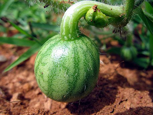 Выращивание арбузов в Сибири предусматривает соблюдение температурных и влажностных параметров