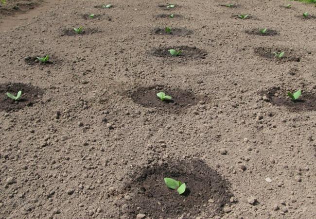 Полив нужно осуществлять таким образом, чтобы почва была всегда увлажненной