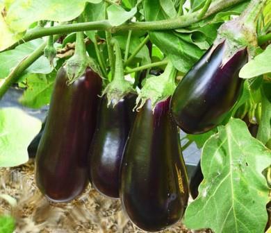 Опытные овощеводы знают, как выращивать баклажаны в открытом грунте