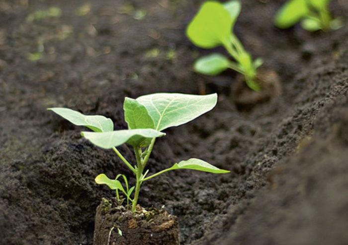 Лучше всего высаживать растения на те гряды, на которых ранее росли такие овощи, как морковь, капуста, лук, бобы