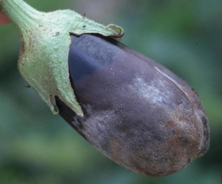 Если повышенная влажность, температура воздуха около 20 °С и есть остатки зараженных растений, то может развиваться серая гниль