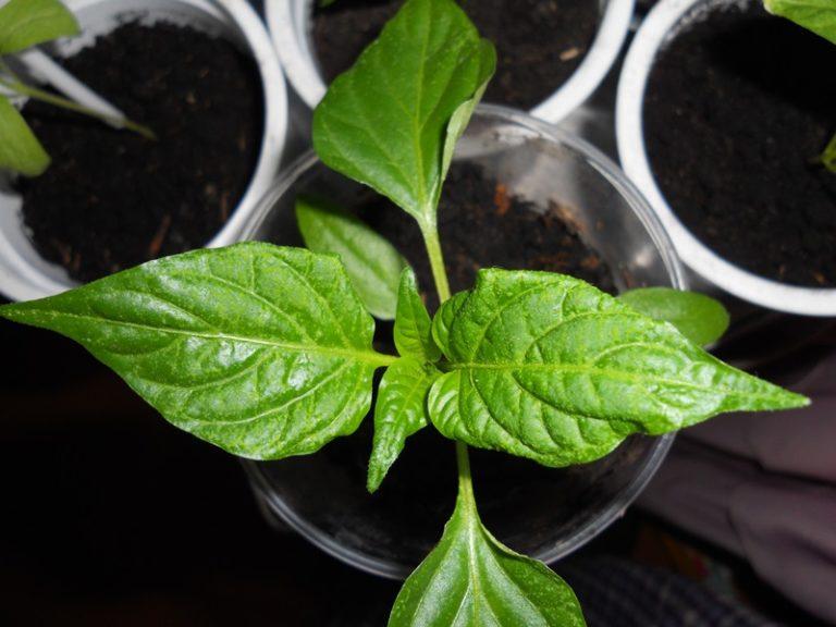 Болезни баклажанов в теплице: виды, лечение, выращивание и уход, фото, видео