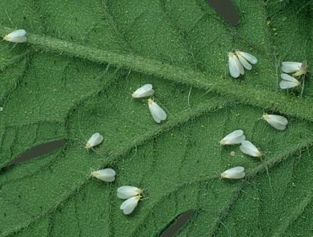 Белые мошки на помидорах в теплице, или, как их еще называют, белокрылки, считаются наиболее вредоносными насекомыми, которые паразитируют на томатах