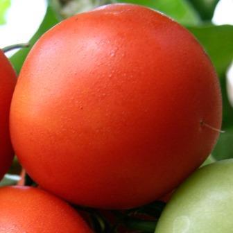 """Одним из самых популярных сортов помидоров по праву считается томат """"Белый налив"""""""