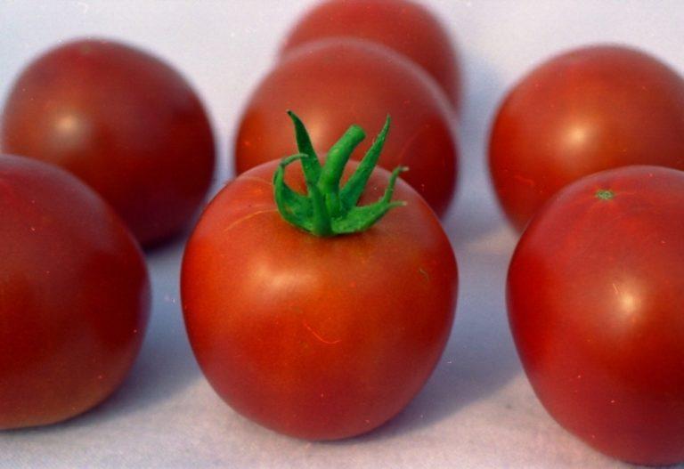 """В 1979 году на опытной станции в Казахстане впервые был выращен томат """"белый налив 241"""""""