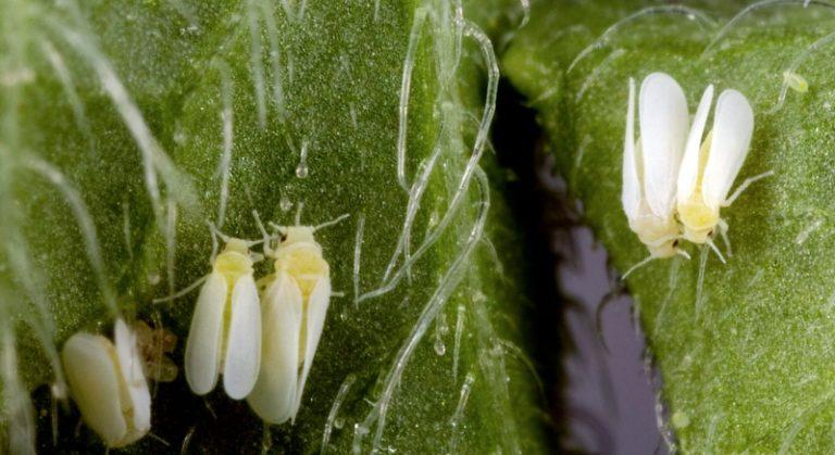 Основным вредителем огурцов являются тепличные белокрылки