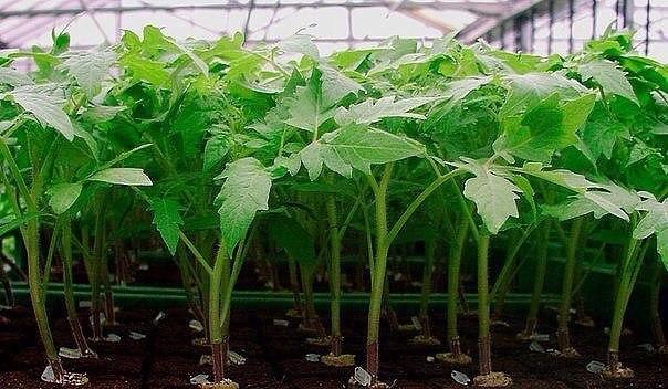 Любые удобрения, которые приводят к росту и укреплению корневой системы, применять нельзя