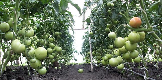 Для защиты томатов при первых признаках усиления жары надо производить проветривание всей площади теплицы