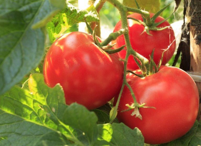 Голландский гибрид характеризуется крупными овощами, они достигают 1000 г.
