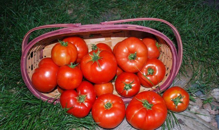 Растут помидоры на плодородных, легких землях