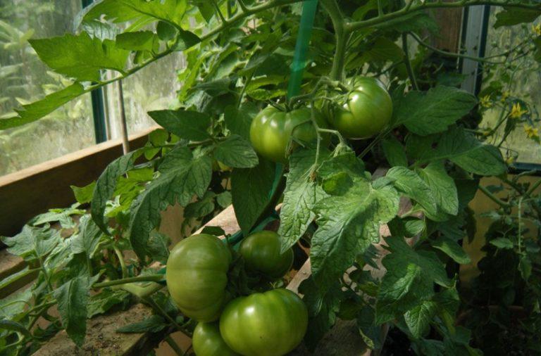 Выращивать гибрид можно различными способами (в открытом грунте или теплице)