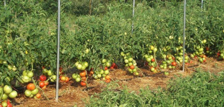 Спелый плод имеет красивый красный цвет, незрелый овощ наделен зеленым оттенком