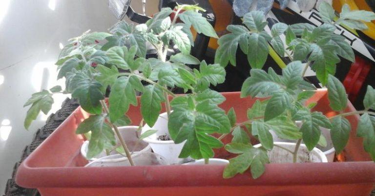 Поливать рассаду помидоров следует по утрам в солнечные дни