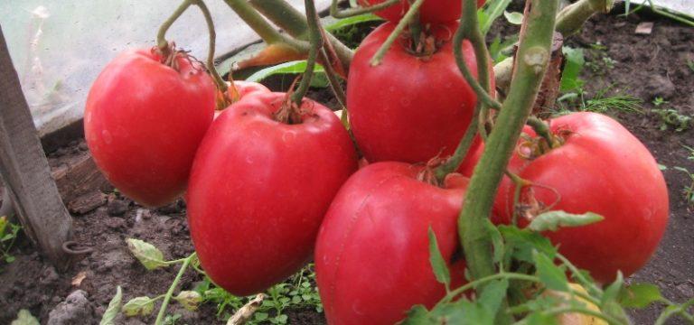 """Очень вкусны томаты """"Большая мамочка"""" в свежем виде"""