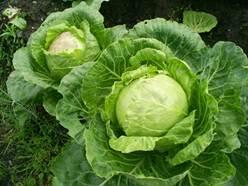 Ранняя капуста обеспечит организм витаминами, появившись на столе быстрее своих собратьев