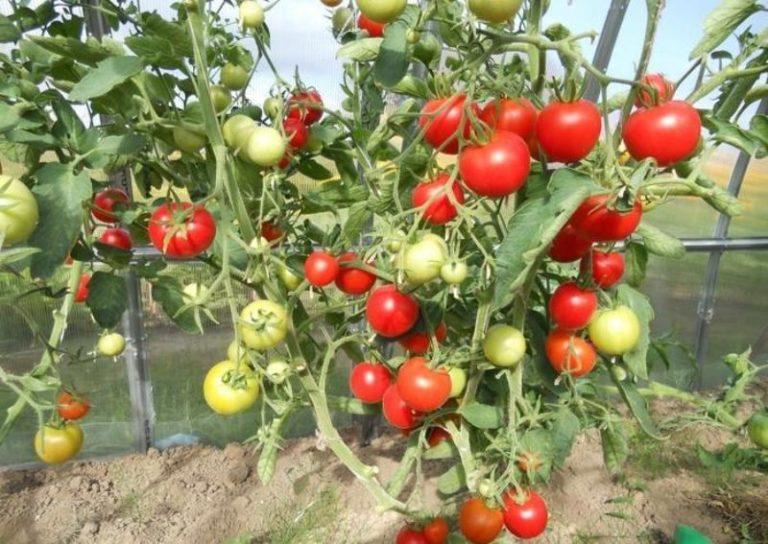 О томате Благовест сложились самые благоприятные впечатления у тех огородников, кто-то хоть раз выращивал его на своем приусадебном участке