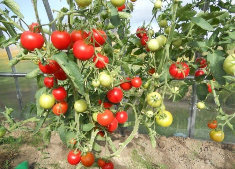 Отзывы о плодах самые благоприятные. Немаловажным является и тот факт, что томат устойчив ко многим заболеваниям
