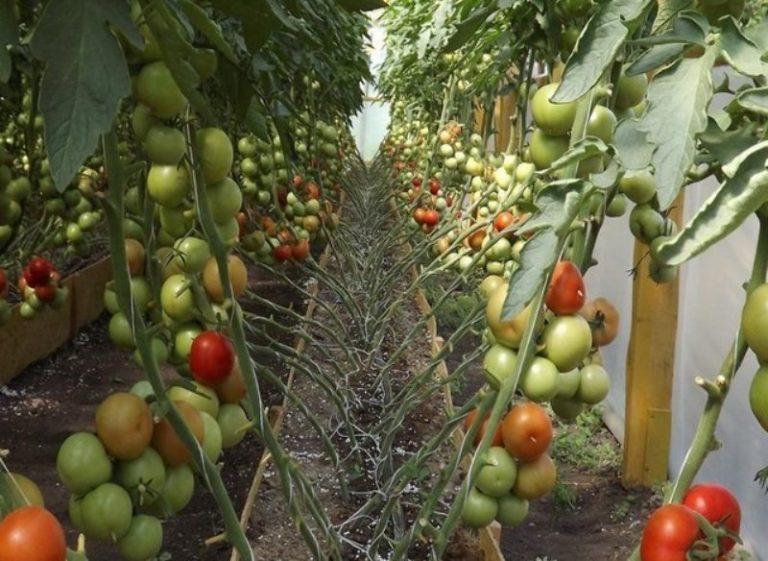 Цвет созревших томатов ярко-красный, а незрелых - бело-зеленый