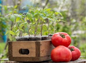 Определяем благоприятные дни для посадки и работ с томатами в апреле
