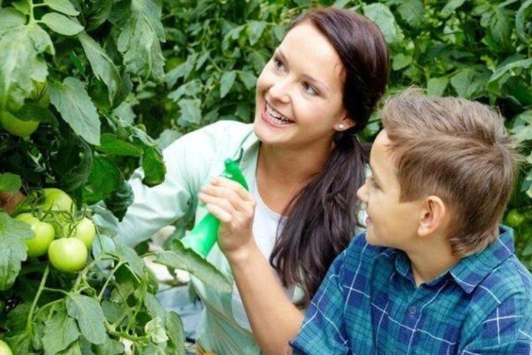 Уход за помидорами включает регулярное удобрение овощей в период вегетации