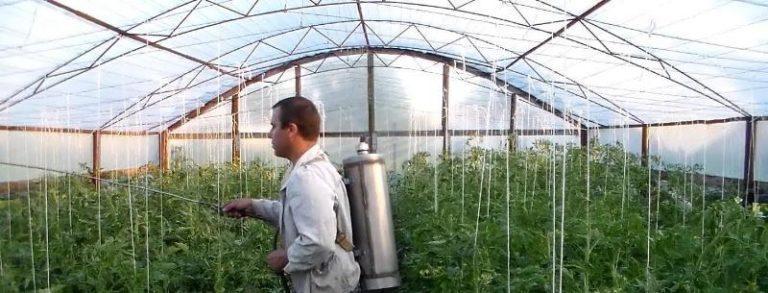 Обрабатывают томаты борной кислотой в утренние или вечерние часы или в пасмурную погоду