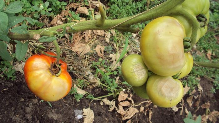Заболевания томатов могут давать о себе знать внезапно
