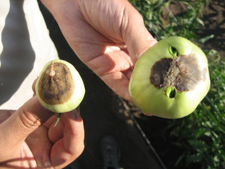 Недуг отличается тем, что не затрагивает корней, листьев, стеблей, а только поражает сам овощ