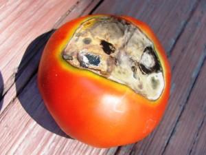 Болезни помидоров и их особенности могут быть разнообразными