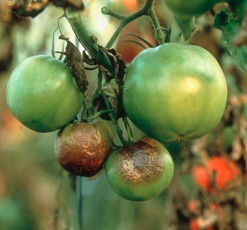 Наиболее распространенным заболеванием помидоров, растущих в теплице, является фитофтороз