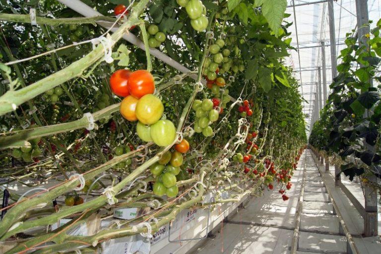 Болезни томатов в теплице разнообразны, бороться с ними нелегко, поэтому предопределить их появление и провести профилактические мероприятия всегда проще, чем начинать лечение зараженных растений