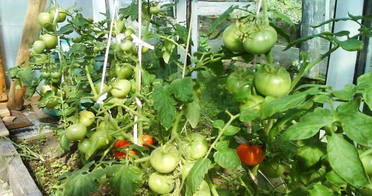 Болезни помидоров в теплице возникают ничуть не реже, чем у кустов, растущих в открытом грунте