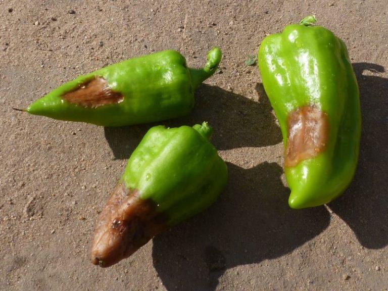 Чаще всего перец страдает темной бактериальной пятнистостью, бактериальным раком и бактериальной гнилью