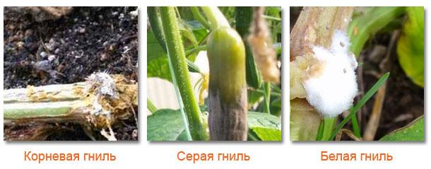 Болезни огурцов в открытом грунте и в условиях теплицы включают поражение со стороны серой гнили