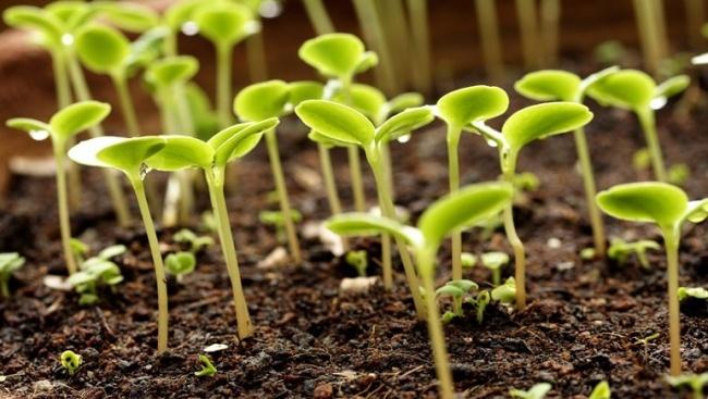 Семена следует сажать на расстоянии не менее 3 см друг от друга