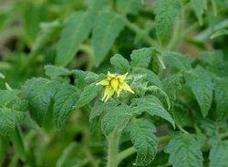 Существует ряд причин, по которым томаты могут плохо расти